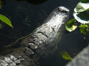 Alligator in water - fishing near Orlando