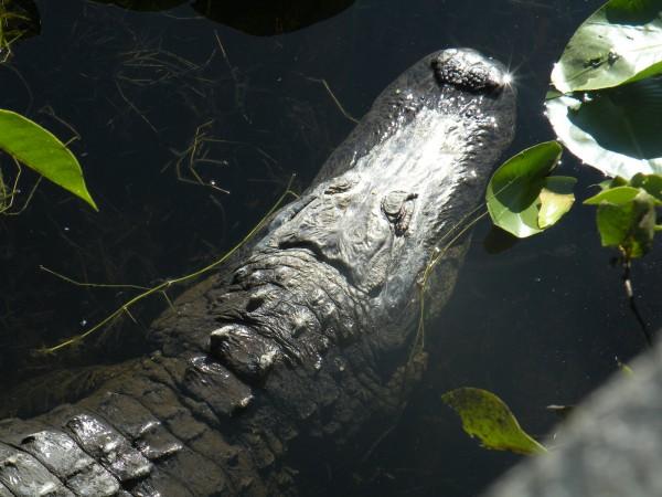 Alligator in water - fishing near Orlando